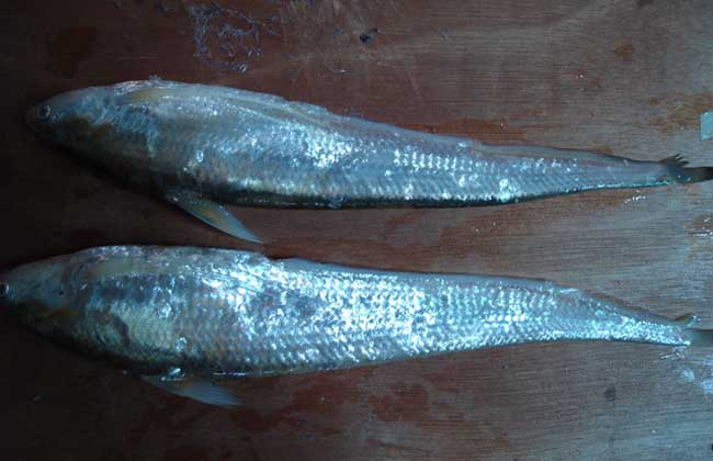 长江刀鱼价格