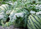 西瓜种子价格及种植方法