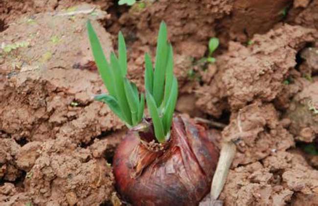 洋葱种子价格及种植方法