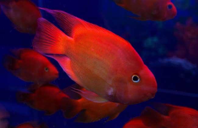 血鹦鹉鱼怎么养