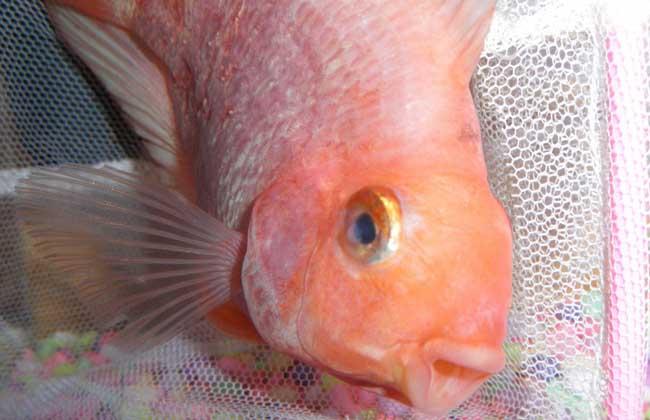 鹦鹉鱼眼睛凸出