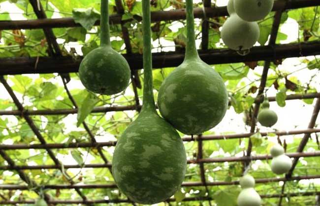 葫芦瓜的功效与作用