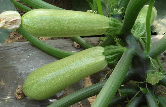 西葫芦的营养价值及食用方法