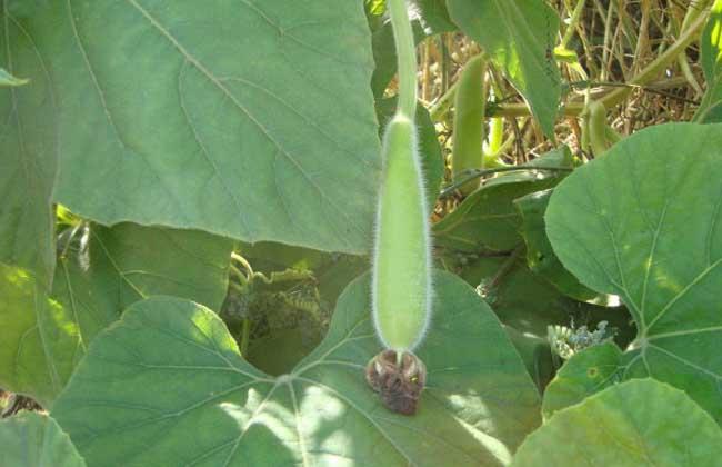 葫芦瓜怎么种