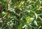 苍术种子价格及种植方法