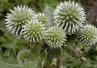 北苍术种子价格及种植方法
