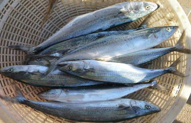 鲅鱼价格多少钱一斤?