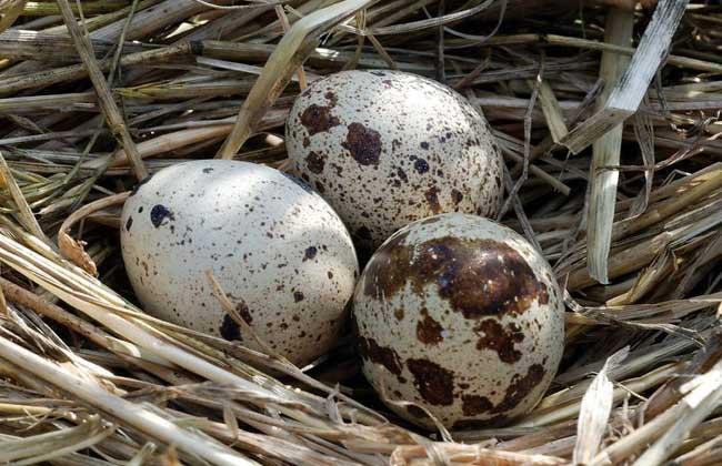 鹌鹑一天下几个蛋