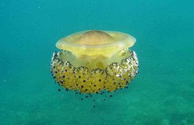 蛋黄水母蛰了有毒吗?