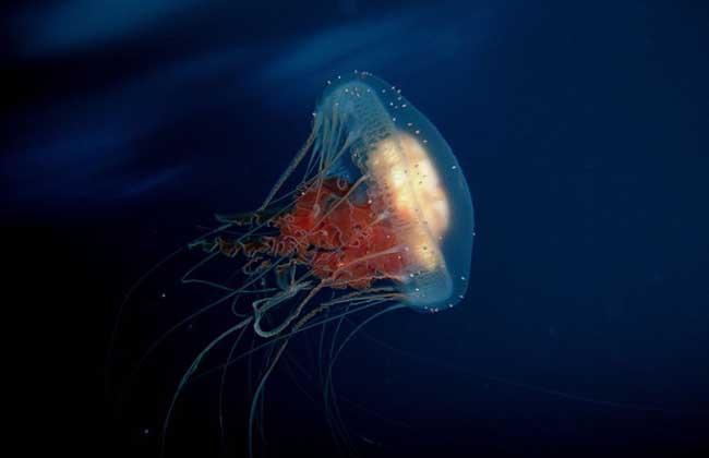 巨型深红水母