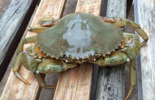 青蟹和梭子蟹的区别