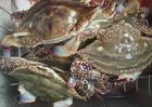 梭子蟹价格多少钱一斤?