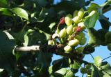 开心果树苗价格及种植方法