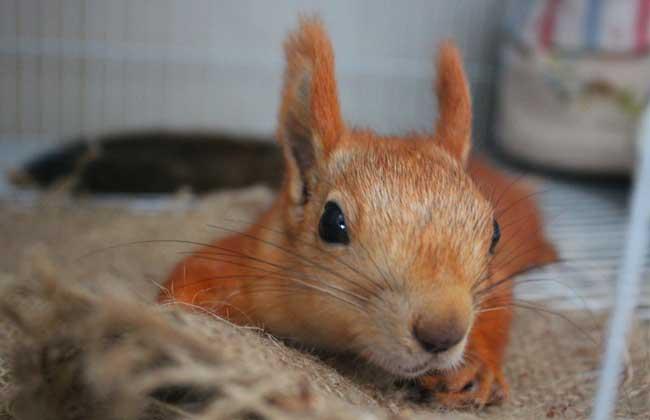 雪地松鼠价格及饲养方法