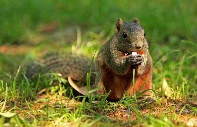 红腹松鼠多少钱一只?