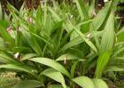 白芨种苗价格及种植方法
