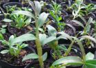 铁皮石斛种苗价格及种植方法