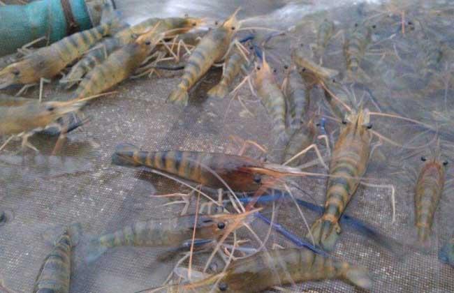 罗氏沼虾养殖技术