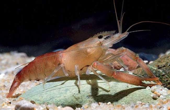 日本沼虾养殖技术