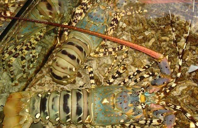 澳洲龙虾养殖技术