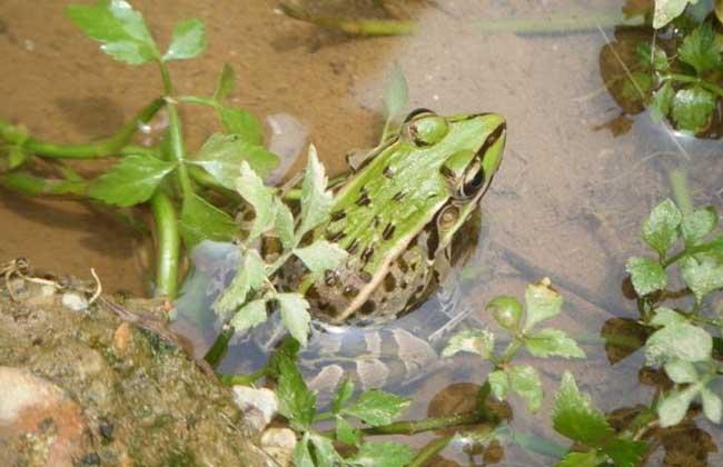黑斑蛙价格多少钱一斤?