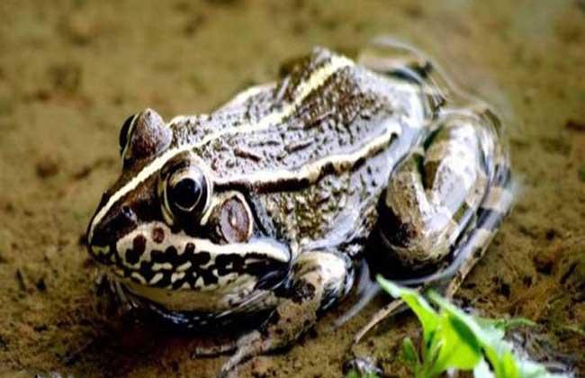 黑斑蛙价格