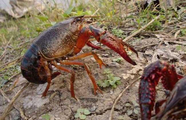 稻田小龙虾养殖技术