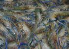 淡水虾高效养殖技术
