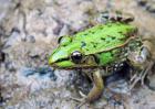 黑斑蛙高效养殖技术