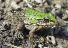 黑斑蛙种苗价格及养殖方法
