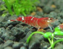淡水虾的种类及图片大全