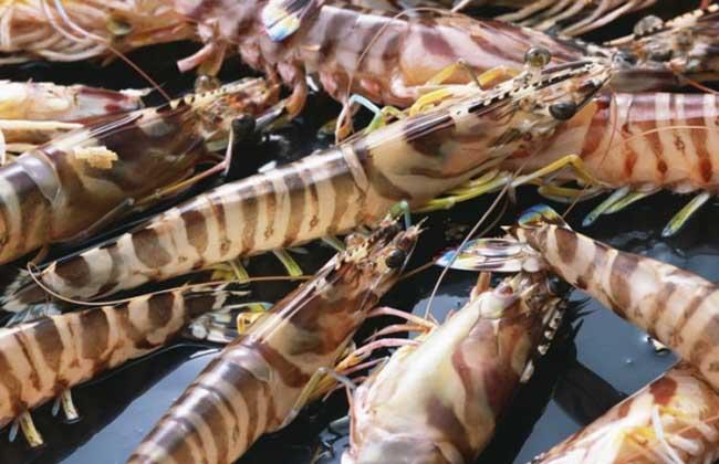 基围虾苗价格及养殖方法