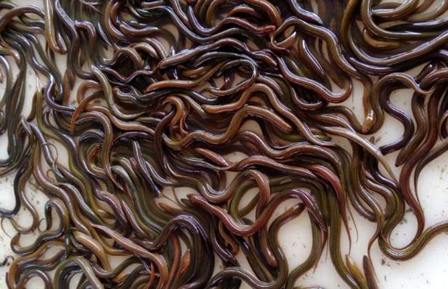 黄鳝苗价格及养殖方法