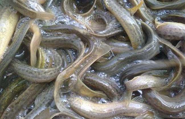 泥鳅苗价格及养殖方法