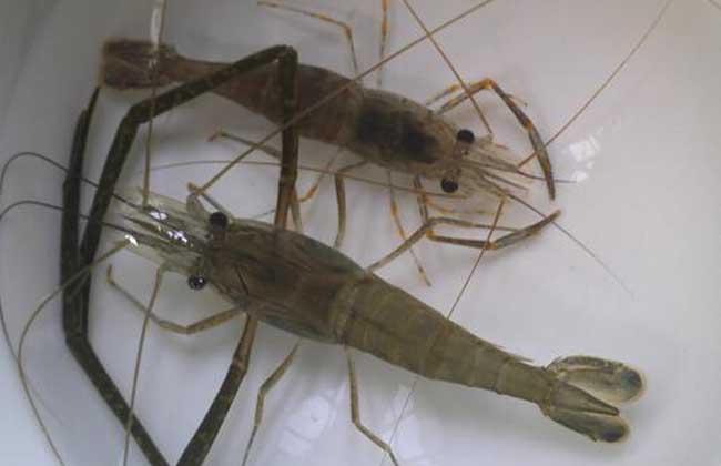 大明虾和基围虾的区别