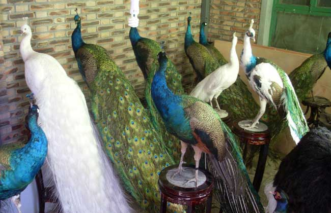 孔雀标本多少钱一个?