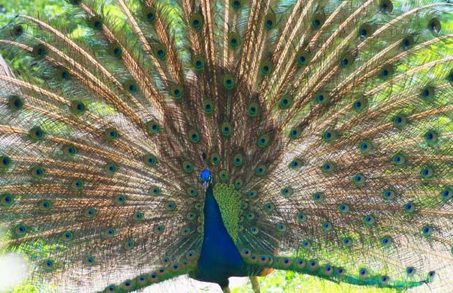 绿孔雀和蓝孔雀的区别