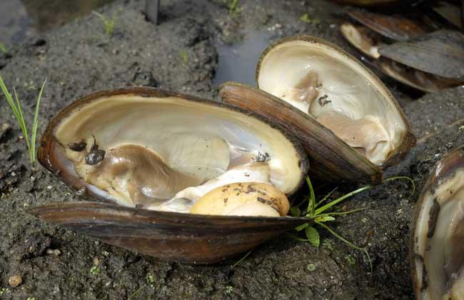 河蚌里有珍珠吗