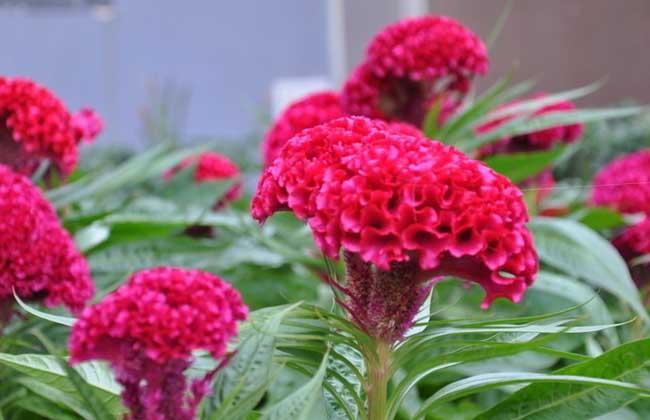 盆栽鸡冠花怎么种植?