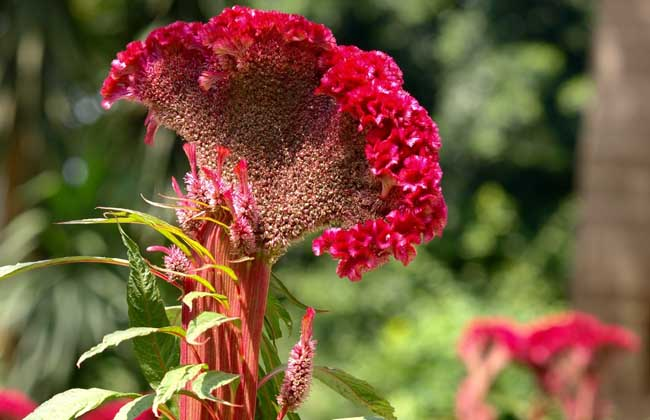 鸡冠花种子价格及种植方法
