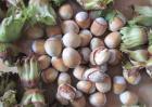 大榛子苗价格及种植方法