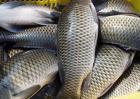 鲤鱼价格多少钱一斤?