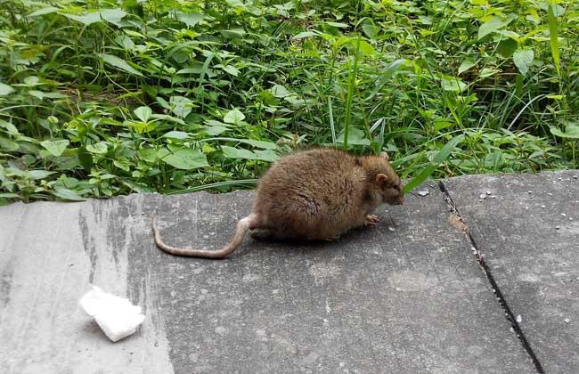 驱赶老鼠最有效的方法