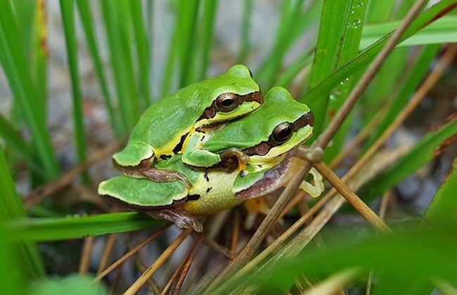 青蛙是保护动物吗?