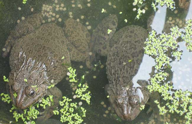 青蛙养殖前景