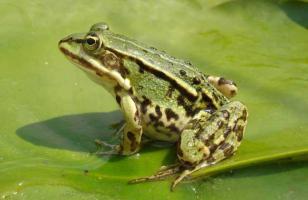 青蛙的高效养殖技术