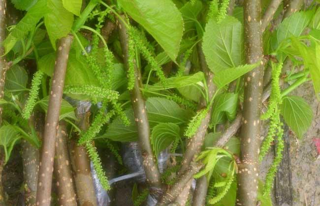 桑葚苗价格及种植方法