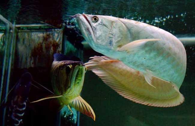 银龙鱼怎么分公母