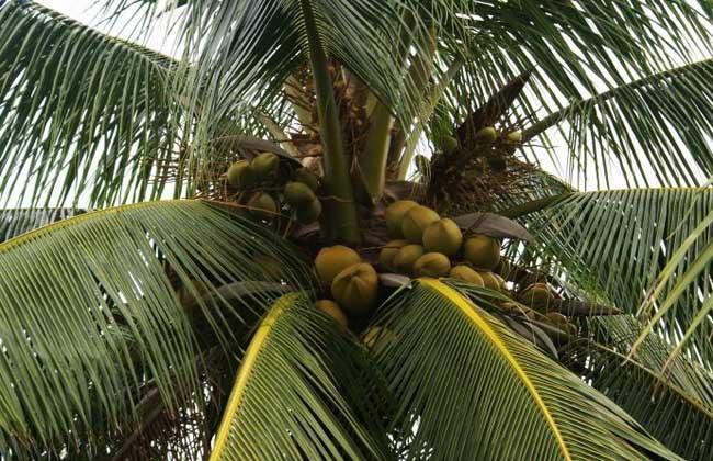水传播 生长在水里或水边的植物通常会借着水力来传播种子,如椰子树、睡莲等。椰子树的果实成熟以后,外壳坚硬,像一艘小船随海水漂到远方,被浪潮冲上岸后就会长出新的椰子树。睡莲的果实成熟后会落在水里慢慢腐烂,包有海绵状外种皮的种子就会浮起来,在水面随波逐流,最后沉入水底生根发芽。