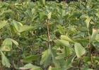 银杏种子价格及种植方法